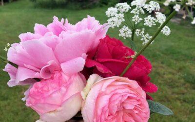 Billige roser og andre planter